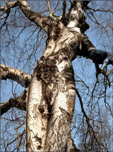 pareidolia jezus drzewo